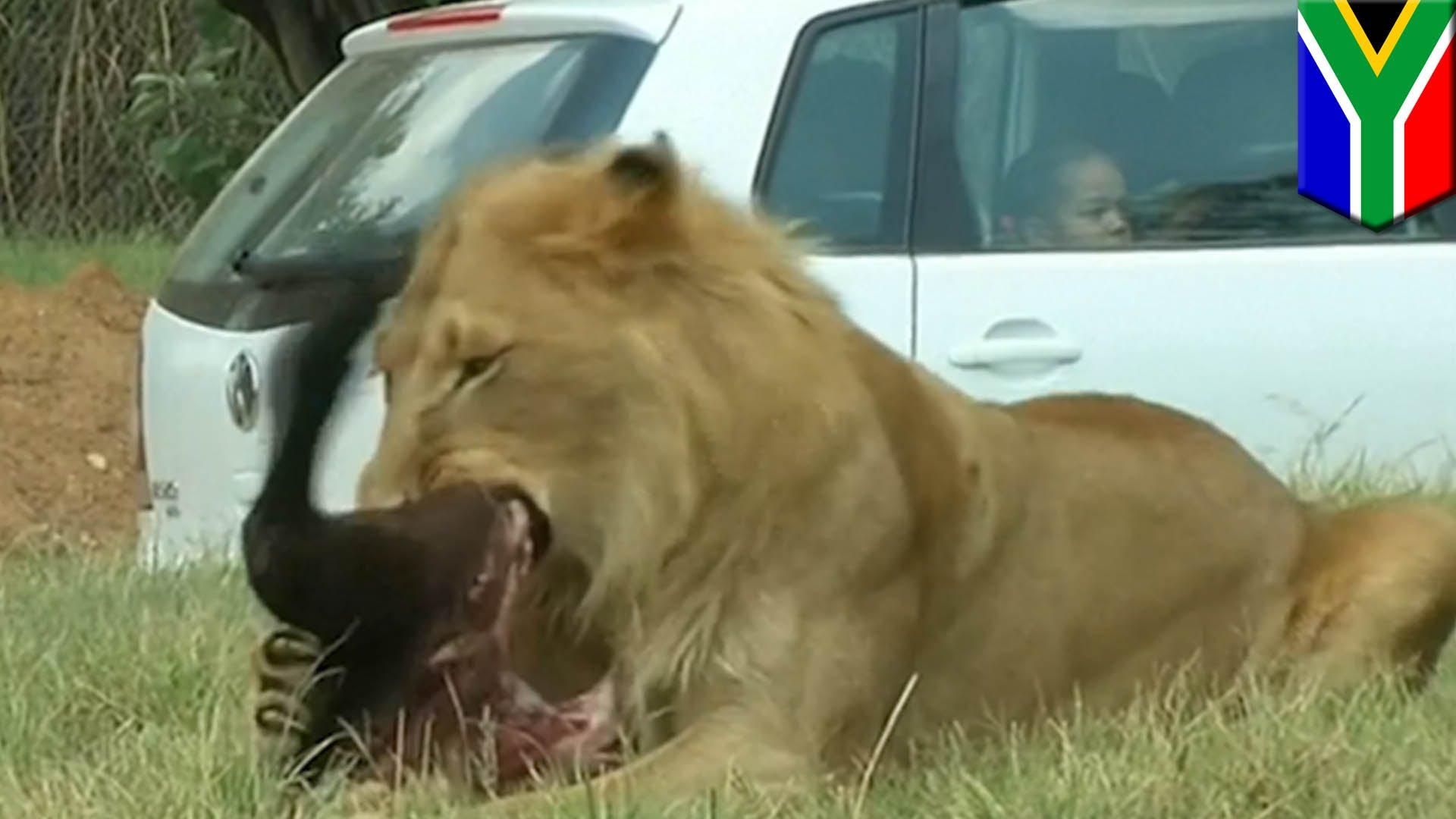 Un lion dévore une touriste lors d'un safari